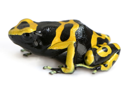 The poison dart frog, family Dendrobatidae